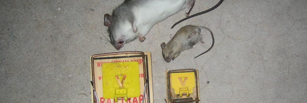 How to Kill a Sacramento House Mouse